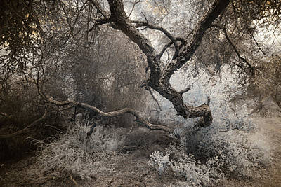 Photograph - Scrub Oak Guardian - Infrared by Alexander Kunz