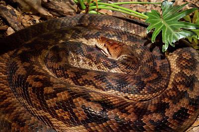 Photograph - Scrub Python Australian Longest Snake by Miroslava Jurcik