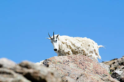 Photograph - Scruffy Mountain Goat On The Mount Massive Summit by Steve Krull