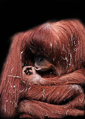 Orangutan Digital Art - Scrutiny by Lesley Smitheringale