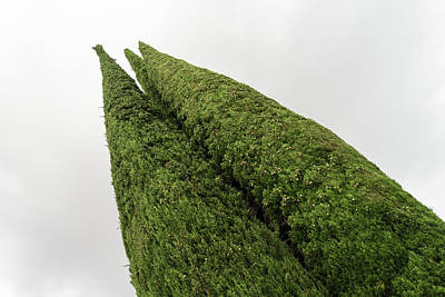 Photograph - Sculpturesque Greenery - Three Cypress Trees Chiseled Against The Sky by Georgia Mizuleva
