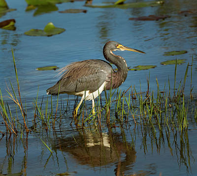 Photograph - A Great Blue Heron In A Pond. by Usha Peddamatham