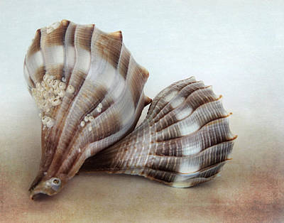 Photograph - Seashell Duo by David and Carol Kelly