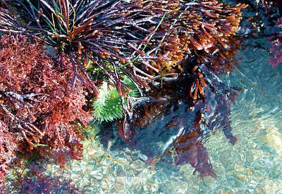 Photograph - Sea Anemone Amongst The Kelp by Brent Dolliver