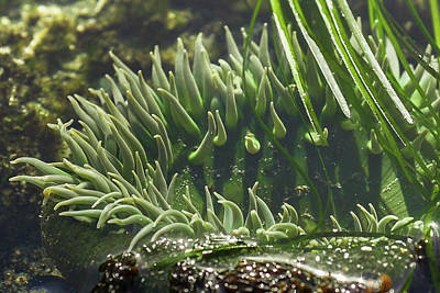 Photograph - Sea Anemone by Crystal Hoeveler