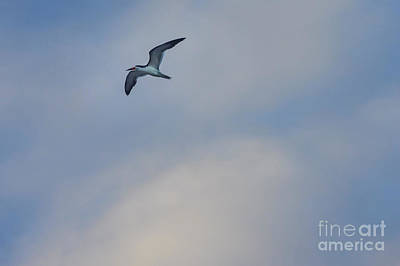 Photograph - Sea Bird In Flight by Tom Brickhouse