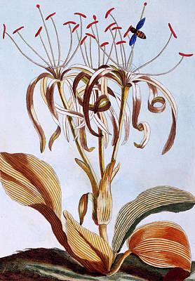 Sea Daffodil Print by Pierre-Joseph Buchoz