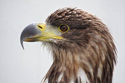 Photograph - Sea Eagle Portrait by Pierre Leclerc Photography