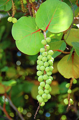 Photograph - Sea Grapes by Ben Prepelka