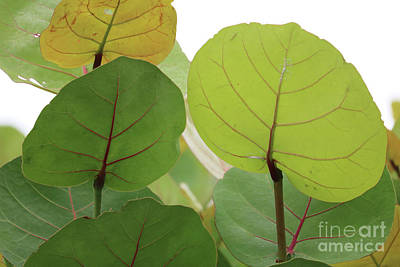Photograph - Sea Grape Leaves by Carol Groenen