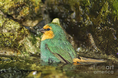 Photograph - Sea Green Parrot Finch Bath by Olga Hamilton