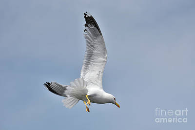 Feathers Photograph - Sea Gull Flying In Tinos Town, Tinos Island, Greece by George Atsametakis
