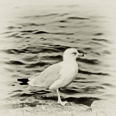 Maine Landscapes Digital Art - Sea Gull In Sepia by Tony Grider