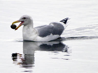 Photograph - Sea Gull With Clam Lunch by Marie Jamieson