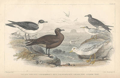 Seagull Drawing - Sea Gulls by Dreyer Wildlife Print Collections