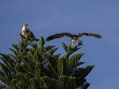 Tropical Photograph - Sea Hawks by Zina Stromberg