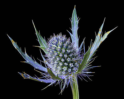 Photograph - Sea Holly Eryngium by Jim Hughes