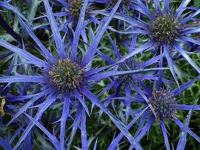 Photograph - Sea Holly by Richard Brookes