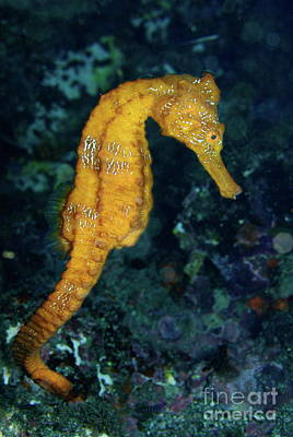 Sea Horse Underwater View Art Print by Sami Sarkis