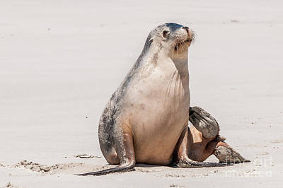 Photograph - Sea Lion 1 by Werner Padarin