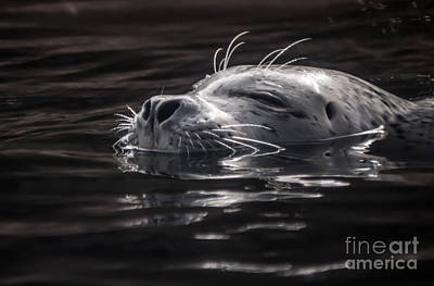 Sea Lion Basking In The Light Art Print