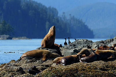 Haida Gwaii Photograph - Sea Lion by Christian Heeb