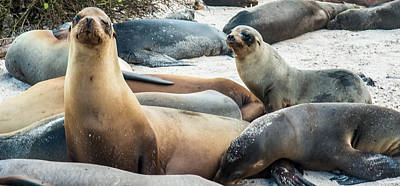 Photograph - Sea Lion Curiosity by Harry Strharsky
