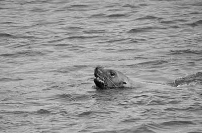 Photograph - Sea Lion In The Wild by Paul Ross