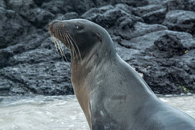 Photograph - Sea Lion Leftward Glance by Harry Strharsky