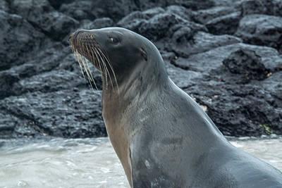Photograph - Sea Lion Leftward Glance by Harry Strharsky