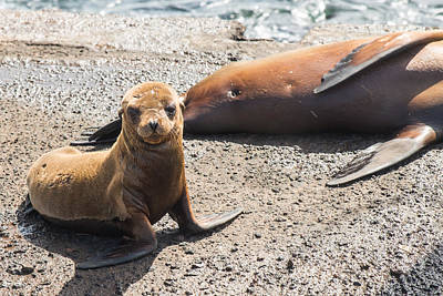 Photograph - Sea Lion Looking To Leave Mom by Harry Strharsky