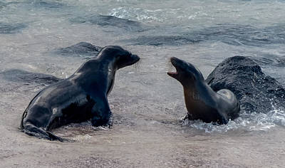 Photograph - Sea Lion Play At The Water's Edge by Harry Strharsky