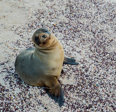 Photograph - Sea Lion Pup by Harry Strharsky