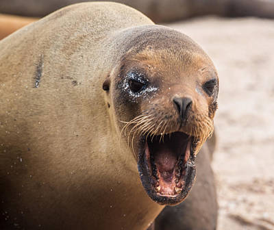 Photograph - Sea Lion Scold by Harry Strharsky