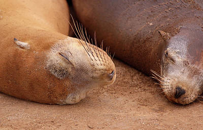 Photograph - Sea Lion Slumber by Robin Street-Morris