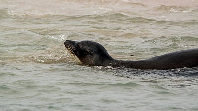 Photograph - Sea Lion Swim by Harry Strharsky