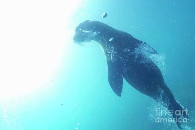 Sea Lion Swimming Underwater  Art Print by Sami Sarkis
