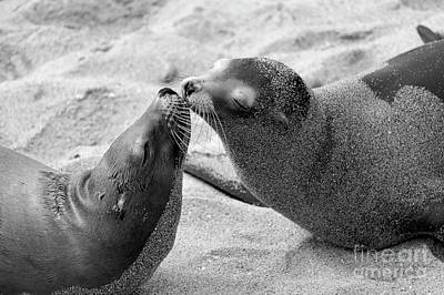 Photograph - Sea Lion Kiss 48x72 by John F Tsumas
