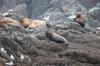 Photograph - Sea Lion by Trent Mallett