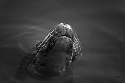 Photograph - Sea Lion V Bw by David Gordon