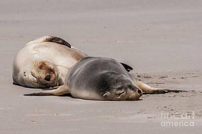 Photograph - Sea Lions 2 by Werner Padarin