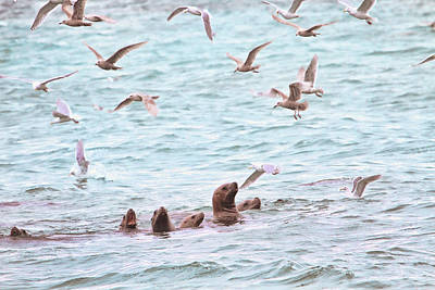 Sea Lions And Gulls - Herring Spawn Art Print