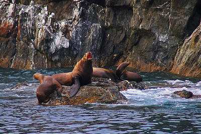 Photograph - Sea Lions by Harry Spitz