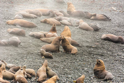 Photograph - Sea Lions In The Mist by Robert McKay Jones