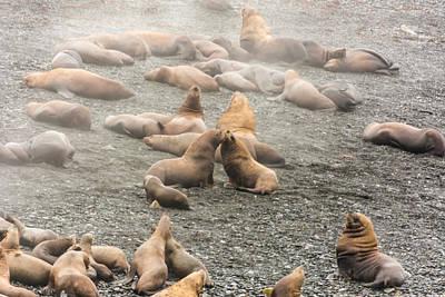 Photograph - Sea Lions In The Mist by Robert McKay Jones