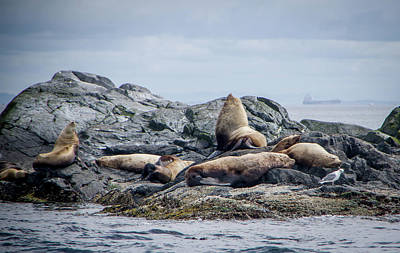 Photograph - Sea Lions On Rocks by Marilyn Wilson