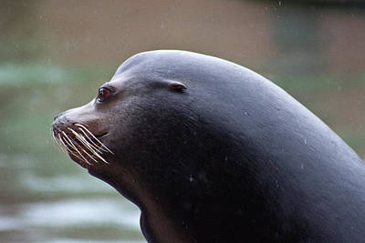 Photograph - Sea Lion's Profile In The Rain by Miroslava Jurcik