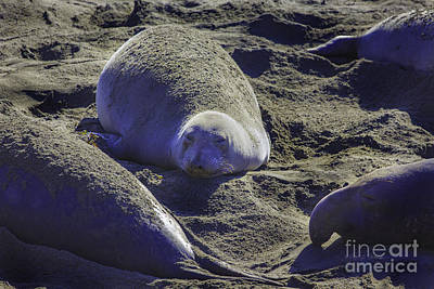 Photograph - Sea Lions Sleeping by Craig J Satterlee
