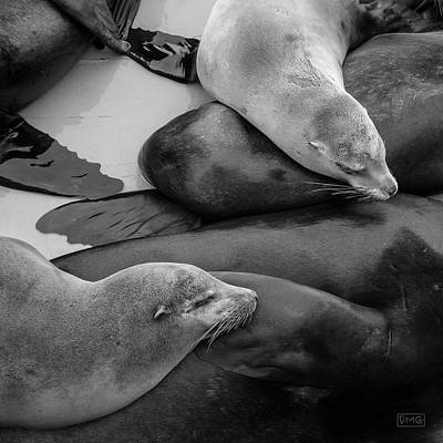 Photograph - Sea Lions Vii Bw by David Gordon