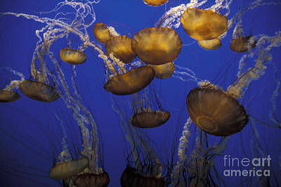 Photograph - Sea Nettels by Stan and Anne Foster